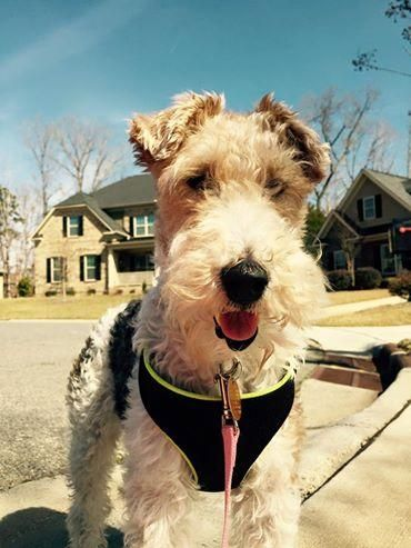 1534 best I Love Wire Fox Terriers images on Pinterest | Wire fox ...