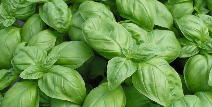 Manjerição - Conheça melhor esta planta muito aromática e perfumada.