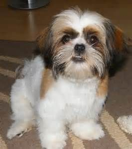 Image detail for -Fun Shih Tzu haircuts? - Poodle Forum - Standard Poodle, Toy Poodle ...