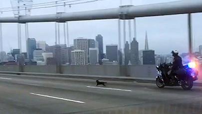 Chihuahua-Bridge Chase