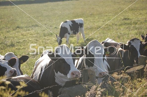 Stock Image: Cows with their heads resting over a barbed wire fence.