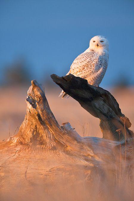 Snowy Owl at Damon Point State Park in Washington State.  Pinned by www.myowlbarn.com