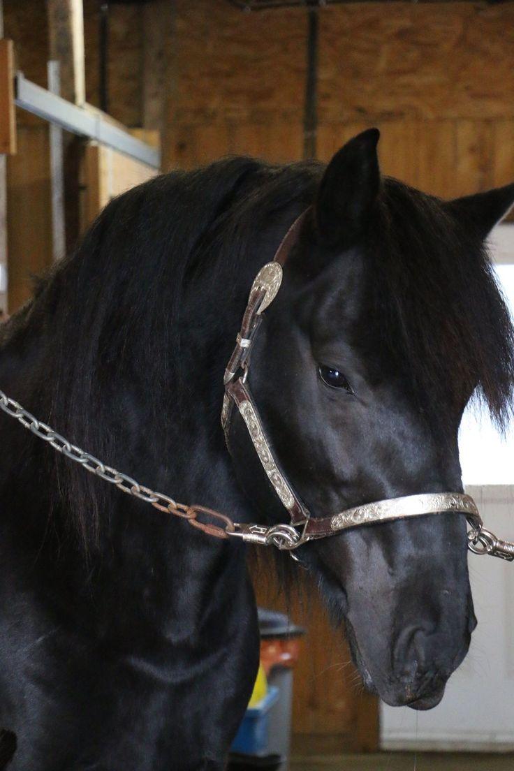 Canadian Horse Stallion Berthiaume Victor Wakiza 13079 http://www.FirstFarmsCanadianHorses.com