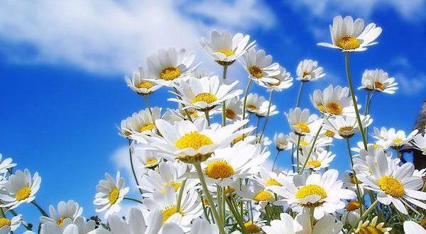 Manzanilla  es una hierba perenne de origen europeo. Tiene tallos erectos con pequeñas flores blancas, parecidas a la margarita. Crece de forma silvestre en terrenos cultivados.  La manzanilla se toma normalmente en infusión, aunque también es un componente importante en la elaboración de infinidad de medicinas y productos cosméticos.  Propiedades:  diuréticas  sedante  Algunos estudios la vinculan con ciertas capacidades anticancerígenas