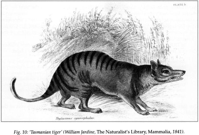 Fig 10: 'Tasmanian Tiger' (William Jardine, The Naturalist's Library, Mammalia, 1841). [print]