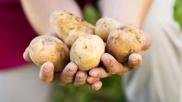 Nur die dicksten Dinger – Kartoffeln pflanzen mit Erfolg