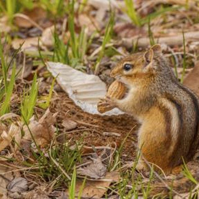 12 Best Chipmunks Images On Pinterest Get Rid Of Chipmunks Chipmunk Repellent And Garden Pests