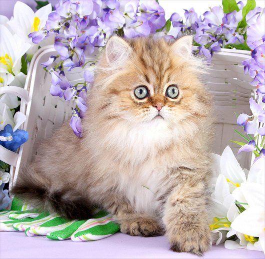 Chinchilla Golden Teacup Persian Kitten
