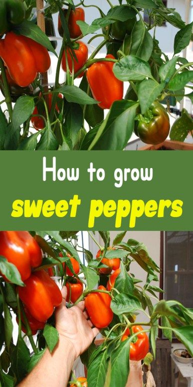 55 Best Grow Peppers Images On Pinterest