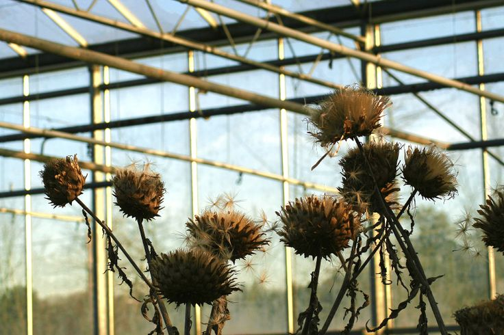 A pattern of steel and glass in a greenhouse with withered flowers. #Photo Harmke Paulides