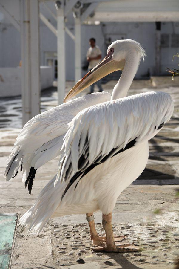 Pelican by Gabriel Suzuki