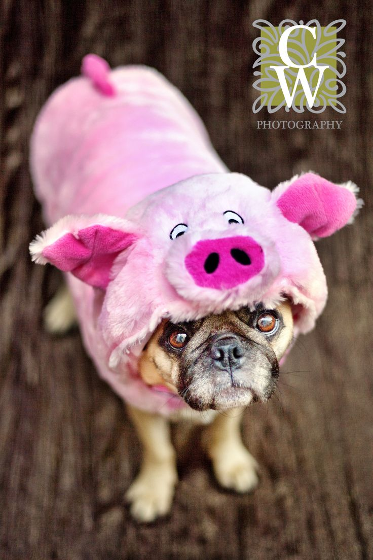 51 Best Dogs Images On Pinterest Chihuahua Love Day Of