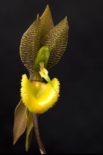Species Identification Task Force Submissions: Catasetum moorei