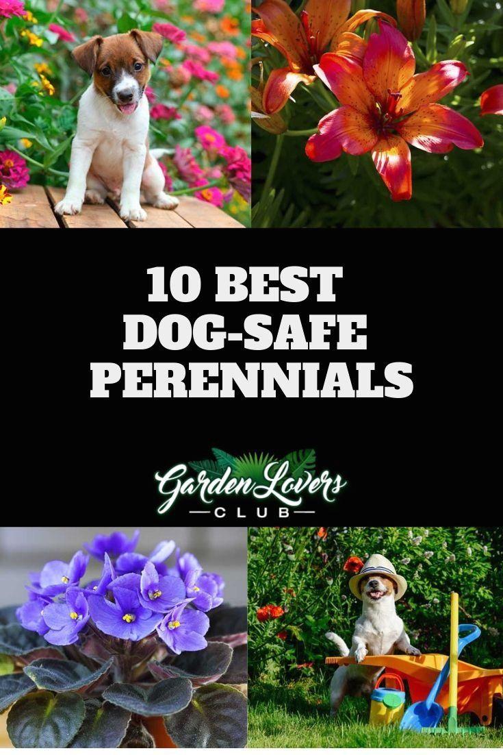 10 Best Dog-Safe Perennials   1000 in 2020   Pet safe ...
