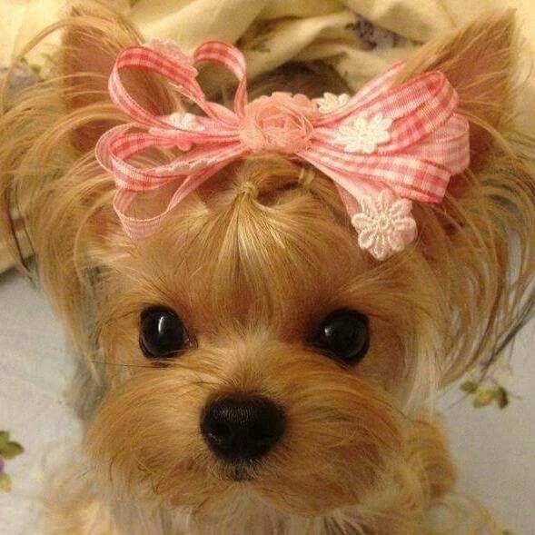 Que cachorrinha fofa #yorkshireterrier