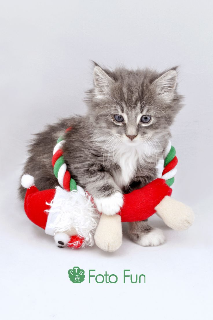 beautiful kitten with christmas  toy