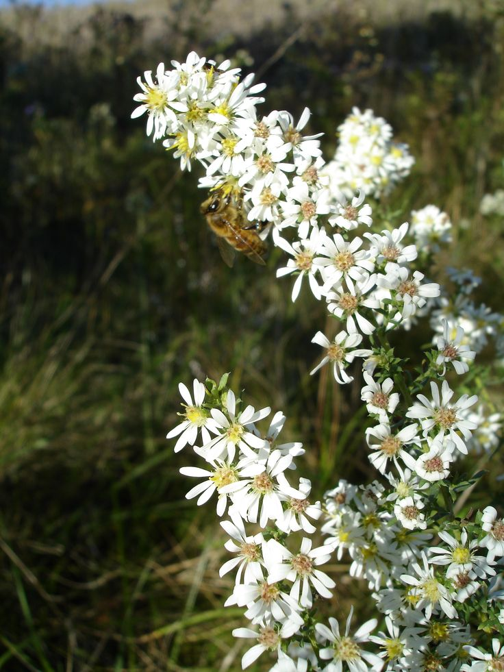 Heath Aster (Aster ericoides) • Family: Aster (Asteraceae) • Habitat: dry open sites • Height: 1-3 feet • Flower size: flowerheads around 1/2 inch across • Flower color: white or pinkish ray flowers around a yellow to reddish disk • Flowering time: July to October • A good marker for heath aster is the bracts beneath the flower heads. They have fairly blunt points, and spread out from the base • Photo by Doug Colter