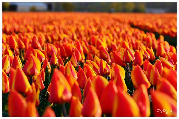 Orange with yellow tulips