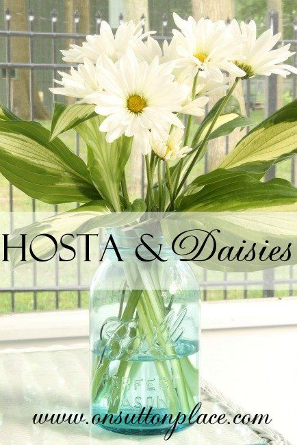 Shasta Daisies -- looking for a hardy perennial for a new flower bed, and this looks like a good candidate.