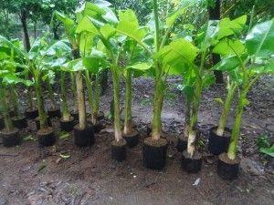 gambar bibit pisang yang ideal dan siap tanam image
