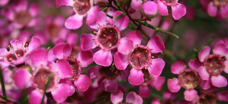 Geraldton wax (Chamelaucium uncinatum) is a beautiful flowering Australian native shrub that brings colour to gardens from late winter to spring. A