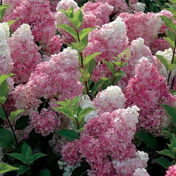 Hortensia - Hydrangea paniculata Vanille Fraise