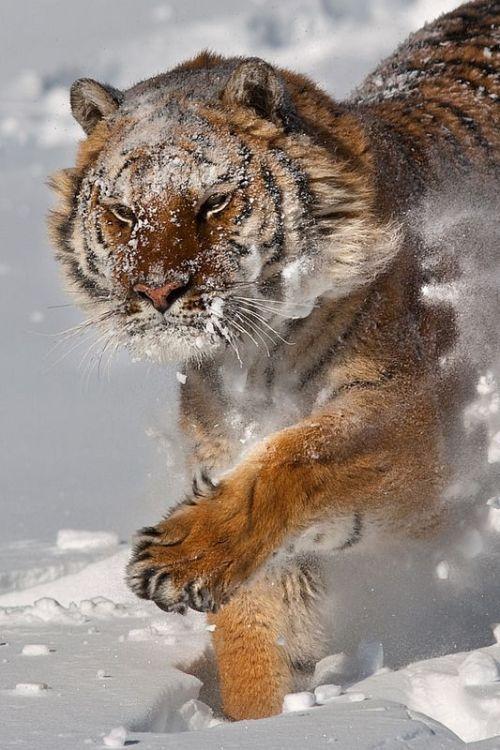Tiger in The Snow!. #BigCatFamily