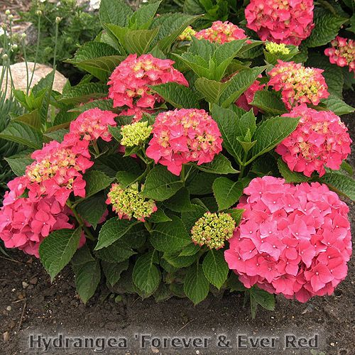 forever ever red hydrangea 3 4 39 tall and wide blooms. Black Bedroom Furniture Sets. Home Design Ideas
