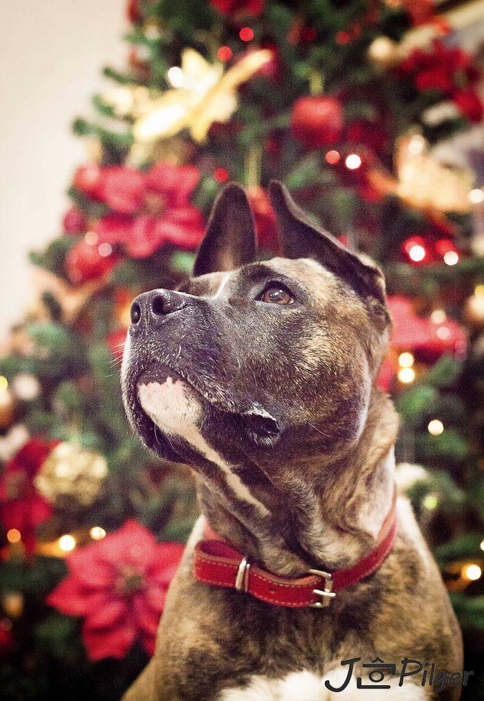Désirée nous étions tous les deux destinés - #American #Staffordshire #Terrier #dog #chien #animal #pets #pawsome  Désirèe on Yummypets.com