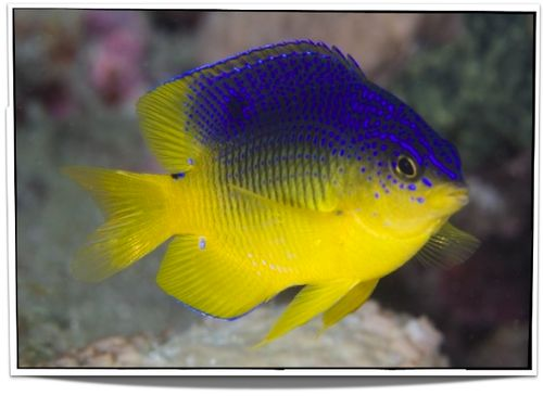 Beau Gregory Damselfish for sale - $13.95 - Saltwater Fish For Sale at Pet Fish For Sale - www.petfishforsale.com