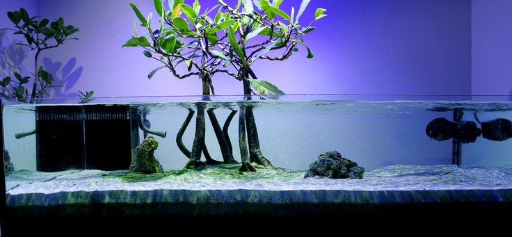 Mangrove Madness!!! This is Giga's (Reef Central) mangrove shallow tank. Amazing!
