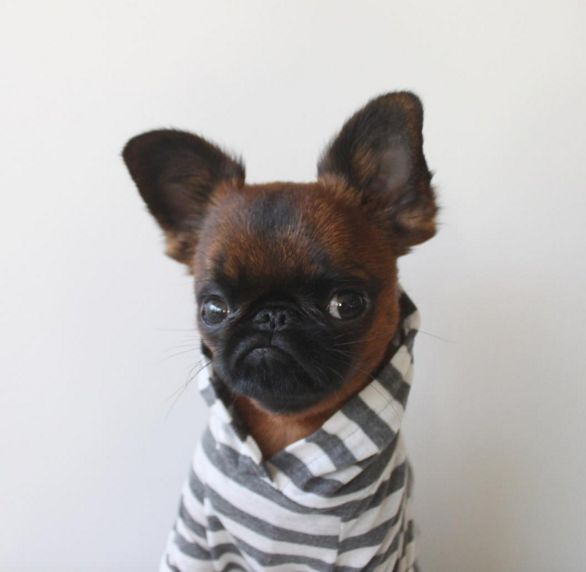 You Need to Meet Gizmo, The Grumpy Hipster Dog