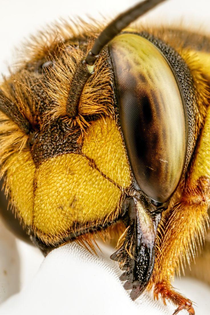 Wool Carder Bee [5472x3648] [OC]