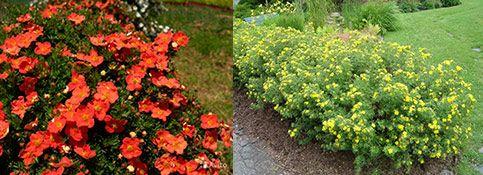 Выбираем кустарники цветущие все лето зимостойкие