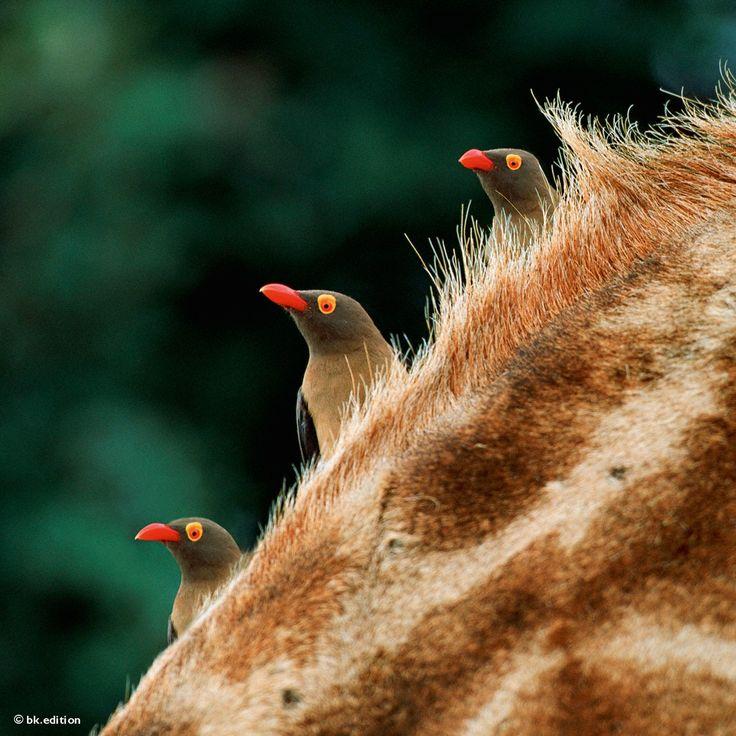 Wie aufgereiht schauen drei Rotschnabel-Madenhacker über den Hals ihres Wirts, einer Giraffe. Die geselligen Vögel sind in Ostafrikas Savannen zu Hause und leben in Symbiose mit großen Huftieren, denen sie die Parasiten aus dem Fell picken – Diese Karte hier online kaufen: http://bkurl.de/pkshop-212012 Art.-Nr.: 212012 Rotschnabel-Madenhacker | Foto: © Steve Bloom | Text: Rolf Bökemeier
