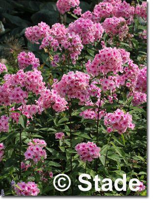 Perfekt Staudenfoto Zu Phlox Paniculata U0027Eva Cullumu0027 (Hohe Beet Flammenblume)