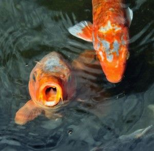 FAQ: Pond 101 - From Pond Supplies to Koi - Pond Pet Care Corner - PetSolutions