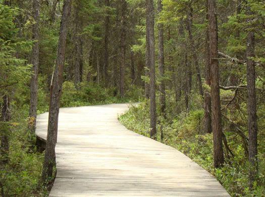 Pathway through black spruce bog