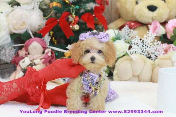 Poshfairytail S Tiny Teacup Maltese Puppy Price 3600 For Sale In Richmond California In 2020 Maltese Puppy Teacup Puppies Maltese Teacup Puppies