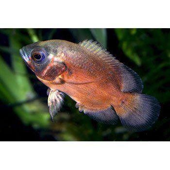Red Oscar Cichlids For Sale Order Online Petco In 2020 Oscar Fish Cichlids Petco
