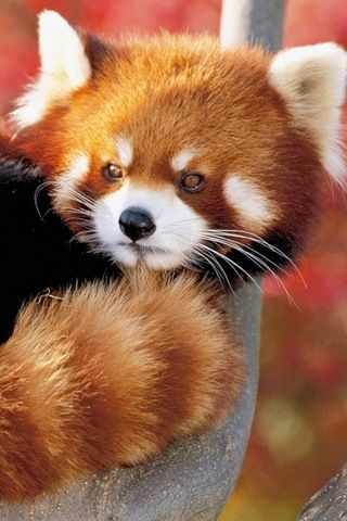Red panda.  We saw red pandas at the panda preserve near Chengdu, China.  Naturalists debate whether they are actually bears.