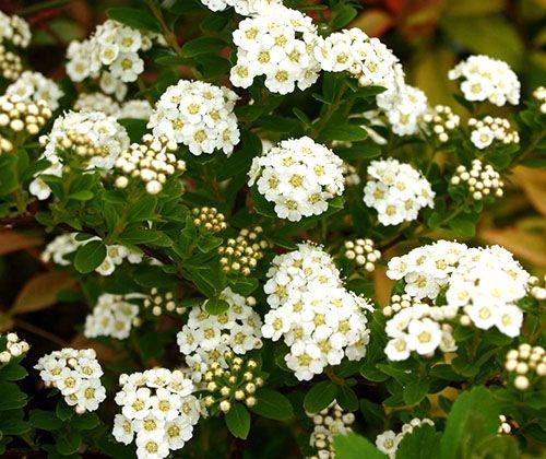 Ниппонская спирея - У российских садоводов популярен сорт Halward's Silver высотой около метра и крупными белыми соцветиями, а также высокорослый, до двух метров в высоту Snowmound с удлиненными листьями и белоснежными цветами.