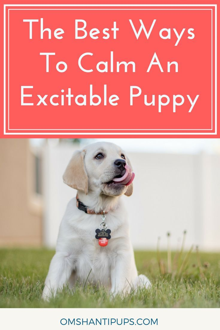 The Best Ways To Calm An Excitable Puppy Dog Clicker Training