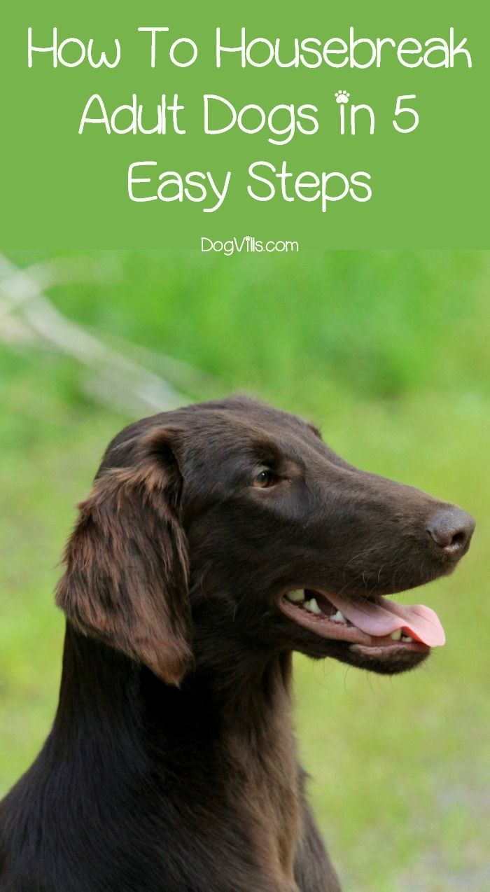 How To Housebreak Adult Dogs In 5 Steps Training Your Puppy