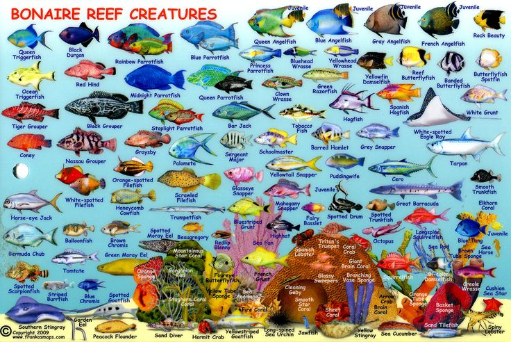 Guia de identificacion para los peces de bonaire.