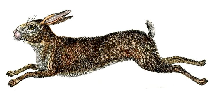 Amazing French Rabbit - Natural History - Hare - The Graphics Fairy