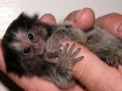 Pygmy Marmoset Monkeys for Sale | ... ,Squirrel,spider and pygmy marmoset Monkeys Currently Available