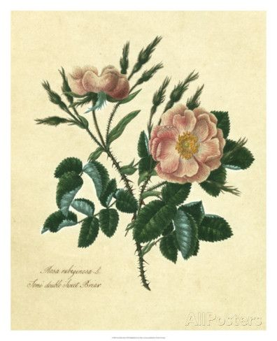Sweet Briar Rose by Mary Lawrence