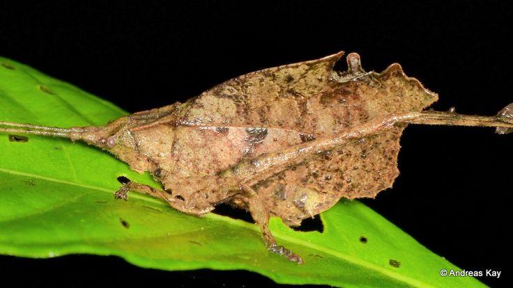 https://flic.kr/p/U8P9Wt | Leaf mimicking katydid, Typophyllum sp. | from Reserva Ecológica Tamandua, Ecuador: www.flickr.com/andreaskay/sets/72157671181153332