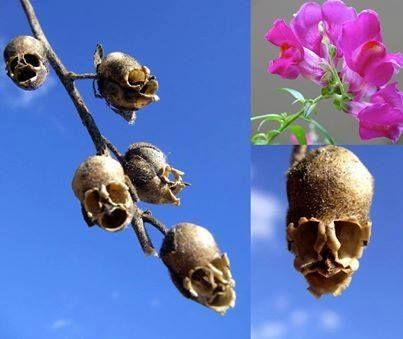 Al marchitarse, las vainas de la flor boca de dragón (Antirrhinum majus) parecen calaveras.